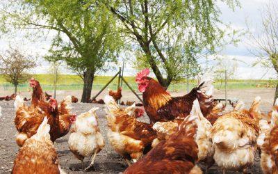 Tierwohl steht für Verbraucher nicht an erster Stelle