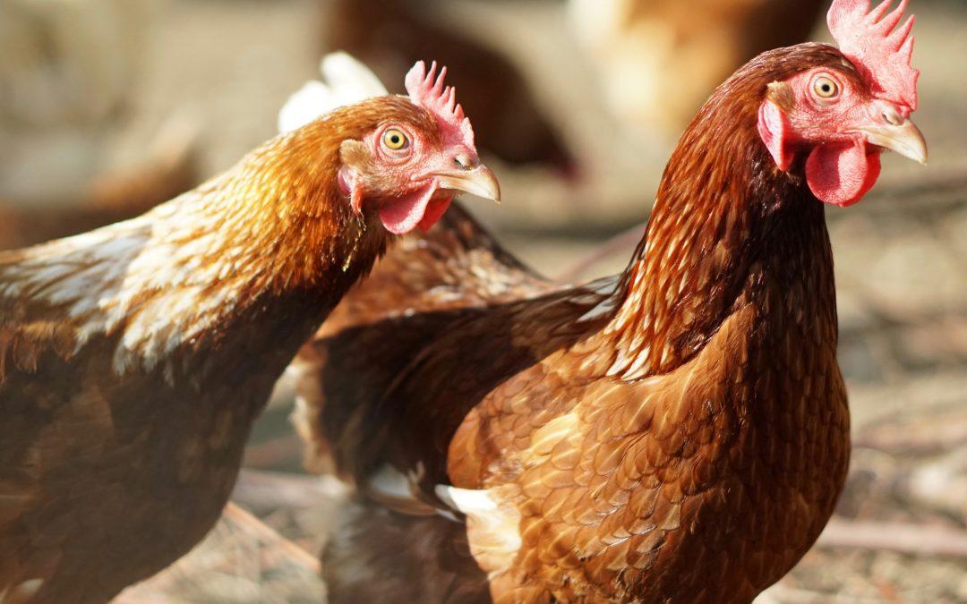 Geschichte des Huhns